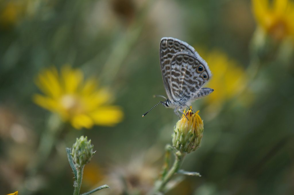 A moth on a dandelion bud